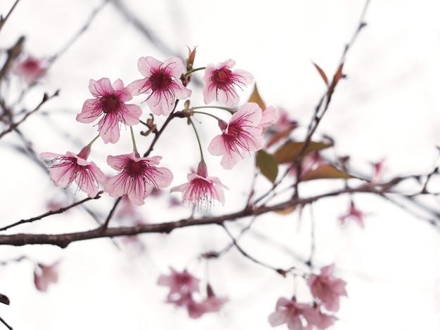 As flores de cerejeira cor-de-rosa florescem na flor completa, estação de mola.