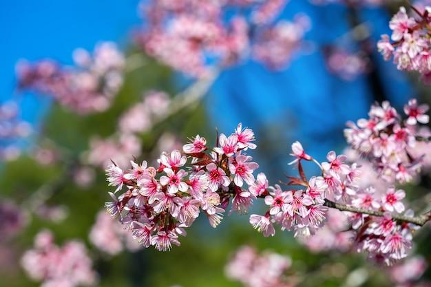 As flores de cerejeira sakura florescem na primavera.