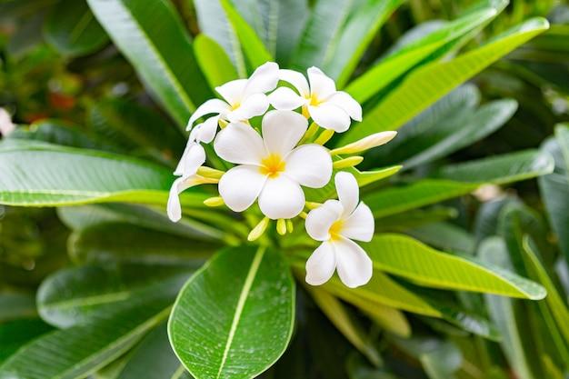 As flores do frangipani fecham-se acima do plumeria bonito.