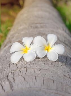 As flores do plumeria colocam na árvore de coco no fundo das férias de verão