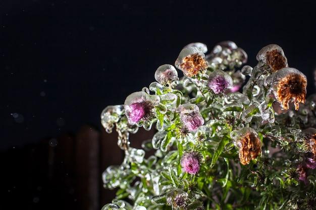 As flores estão cobertas de gelo, neve