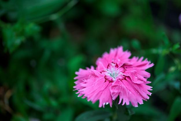 As flores são cravos no canteiro, nas gotas de orvalho nas pétalas. fechar-se