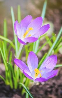 As flores são prímulas na primavera. foco seletivo.