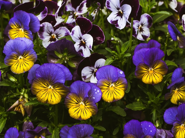 As flores são viola no jardim. fundo de verão. primavera. flores florescendo da primavera