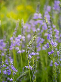 As flores speedwell crescem no campo.