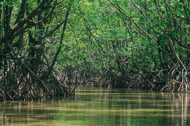 As florestas de mangue na natureza têm muitas raízes para a adesão.
