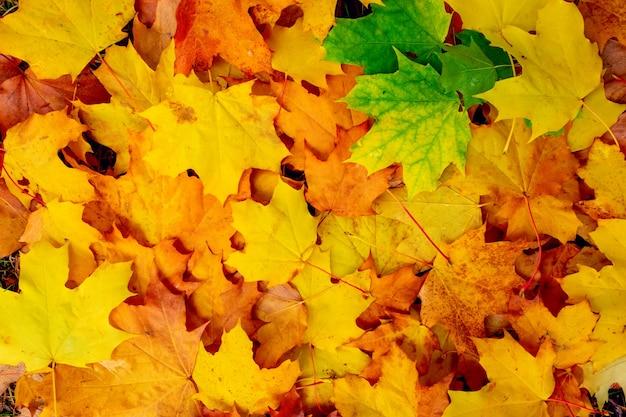 As folhas de bordo decorativas vermelhas, verdes e amarelas caem fundo. fundo colorido e brilhante feito de folhas caídas de outono