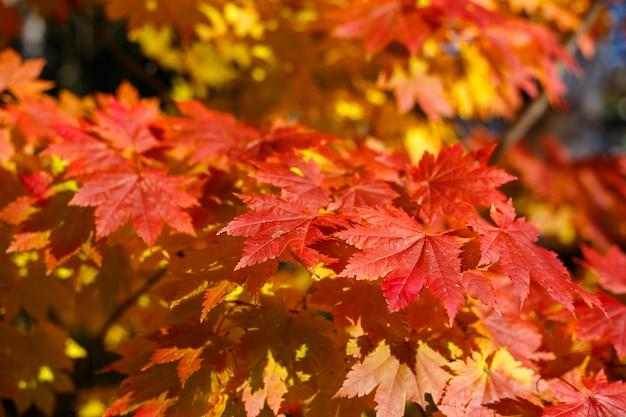 As folhas de bordo vermelhas na estação do outono com céu azul borraram o fundo.