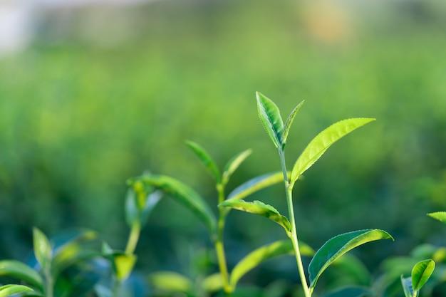 As folhas de chá crescem no meio da plantação de chá