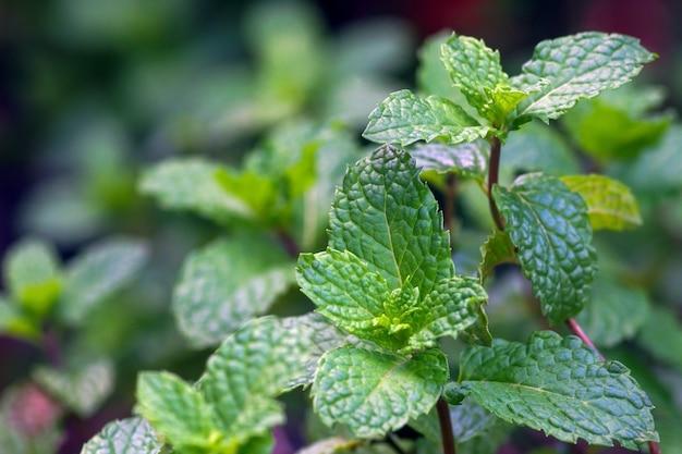As folhas de hortelã crescem no quintal e trazem muitos benefícios para a saúde