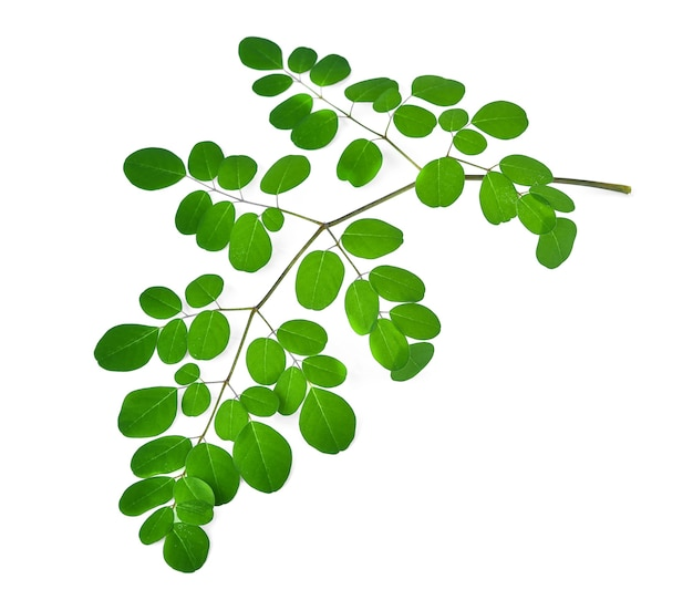 As folhas de moringa têm propriedades medicinais. vista do topo