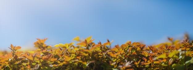 As folhas de um arbusto no fundo de um céu azul claro sob os raios de sol