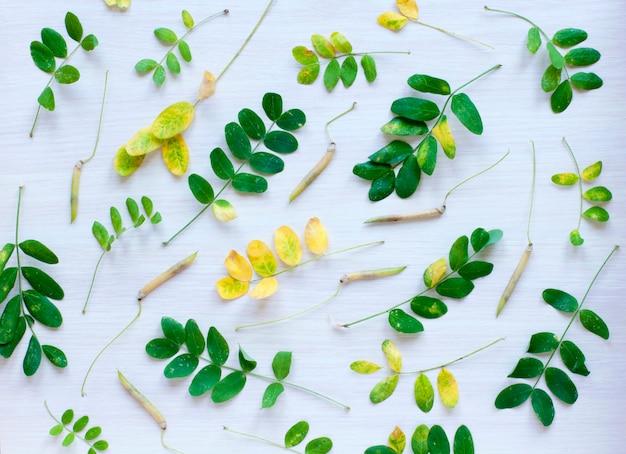As folhas e vagens da acácia
