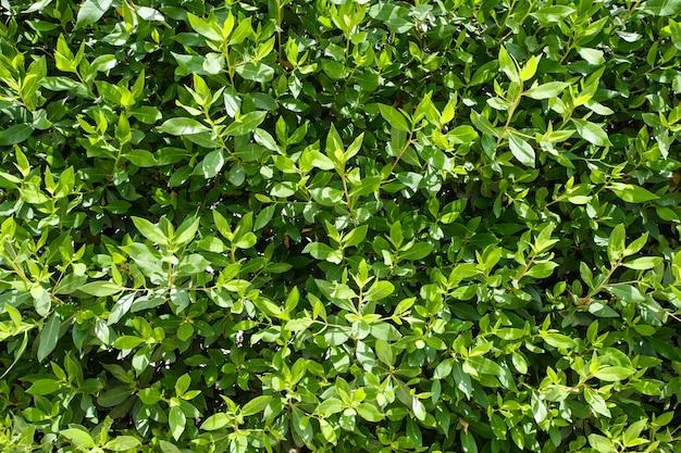 As folhas são verdes em arbustos, o fundo é a flora natural