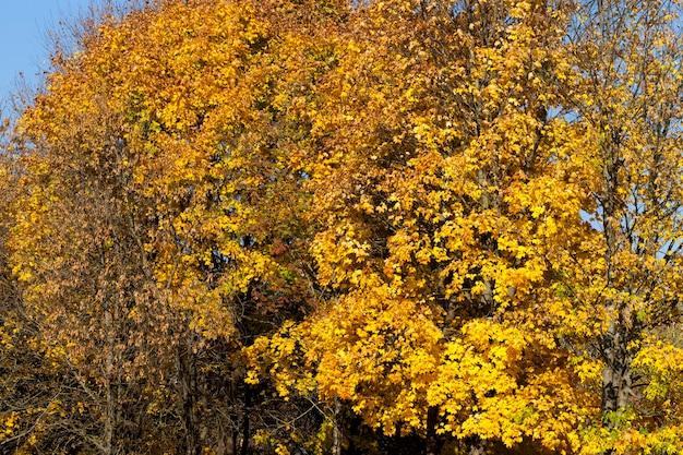 As folhas secas e caídas das árvores caducas no outono, a verdadeira natureza outonal do dia