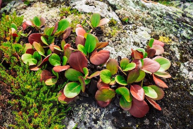 As folhas verdes e vermelhas do crassifolia do bergenia fecham-se acima. incrível planta cresce na rocha com copyspace. rica vegetação das terras altas. flora da montanha. detalhado natural. natureza maravilhosa.