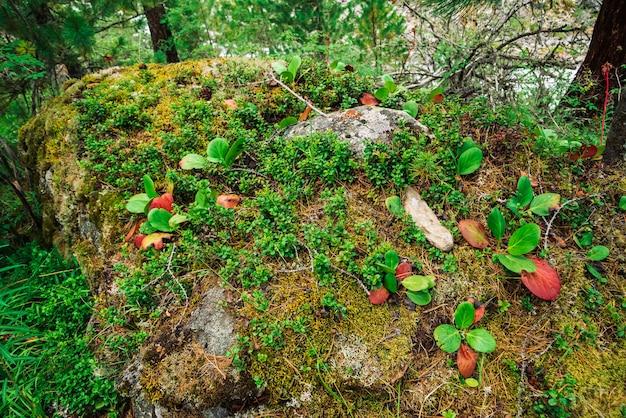 As folhas verdes e vermelhas do crassifolia do bergenia fecham-se acima.