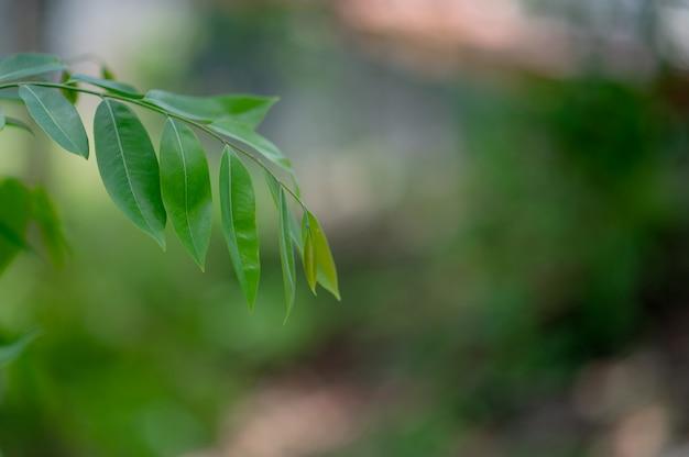 As folhas verdes estão na área verde na estação das chuvas.