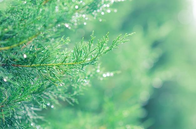 As folhas verdes frescas da árvore de savin juniper com gota da água nas folhas e no bokeh iluminam-se.
