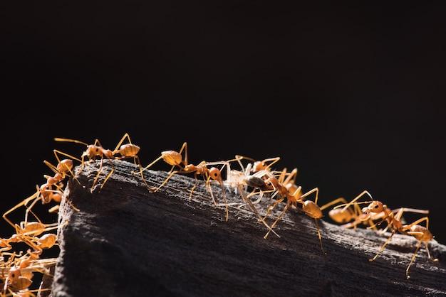 As formigas estão transportando suas presas alimentares para o ninho.