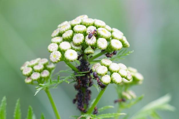 As formigas protegem a colônia de pulgões. uma formiga subiu no guarda-chuva da planta.