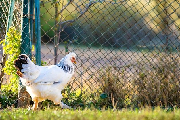 As galinhas se alimentam de currais rurais tradicionais.