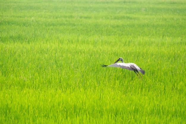 As garças encontram comida no meio dos campos de arroz.