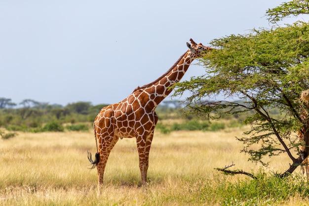 As girafas da somália comem as folhas das acácias