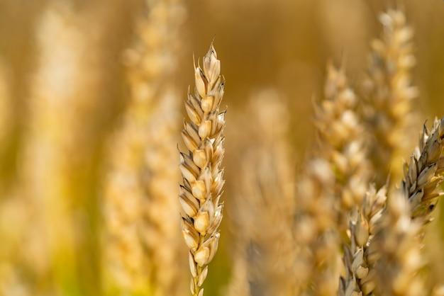 As hastes do trigo amadurecem no campo em uns dias ensolarados no verão.
