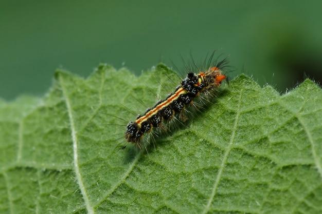 As lagartas estão ansiosamente comendo folhas frescas.
