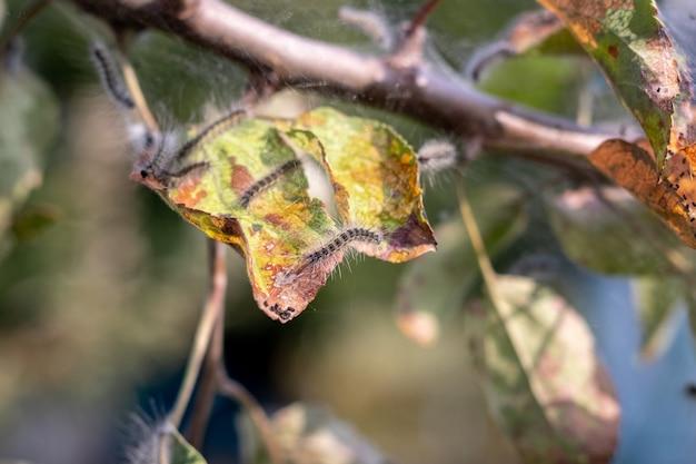 As lagartas nas folhas da maçã danificam a árvore. pragas de jardim