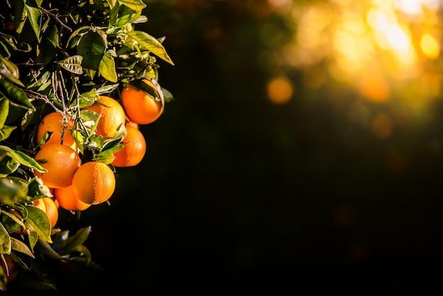 As laranjas maduras carregadas com as vitaminas penduraram da árvore alaranjada em uma plantação no por do sol com os raios de sol no fundo na mola.