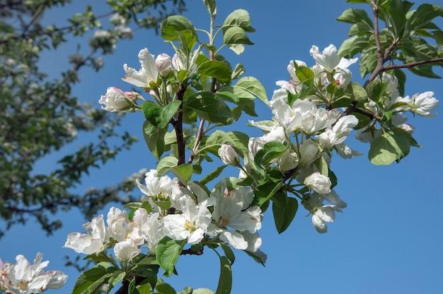 As macieiras estão desabrochando flores brancas. flores da primavera de macieira florescendo no jardim primavera.