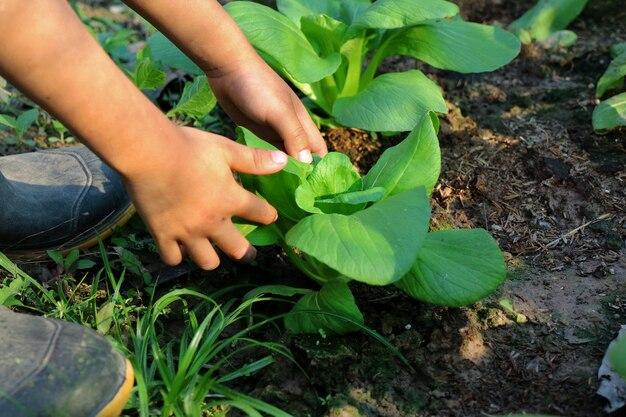 As mãos da criança escolhem verduras de folha chuvosa plantadas no campo natureza, agricultura e conceito de pessoas