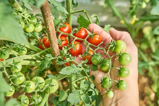 As mãos da fêmea que colhem tomates de cereja frescos no jardim em um dia ensolarado. agricultor escolher tomates orgânicos. conceito de cultivo de vegetais