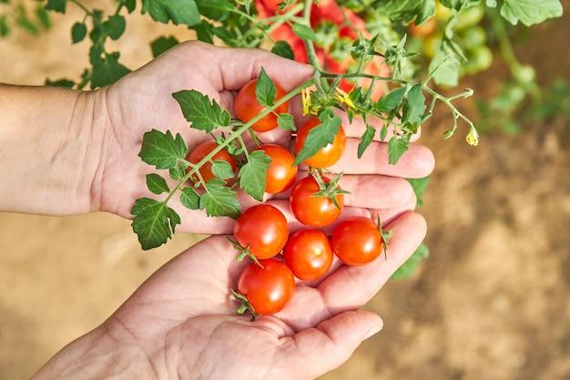 As mãos da fêmea que colhem tomates frescos no jardim em um dia ensolarado. agricultor escolher tomates orgânicos. conceito de cultivo de vegetais.