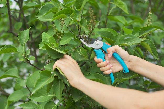As mãos da mulher com tesouras de podar cortando flores murchas no arbusto lilás