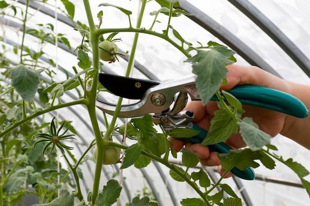As mãos da mulher estão podando galhos de plantas de tomate.