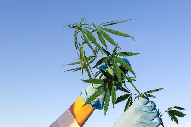 As mãos da mulher no revestimento e nas luvas médicas que guardam o cannabis do ramo com cinco dedos saem.