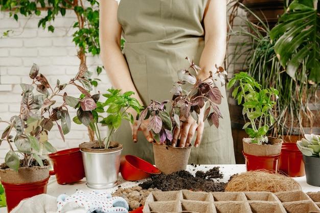 As mãos da mulher transplantam a planta para uma panela nova