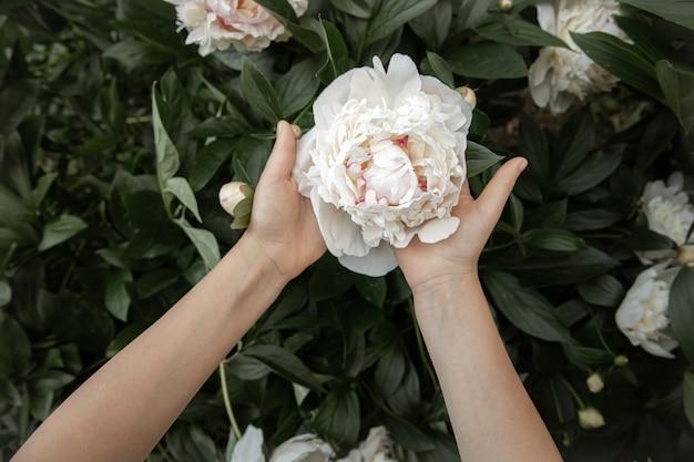 As mãos das crianças estão segurando uma flor de peônia crescendo em um arbusto.