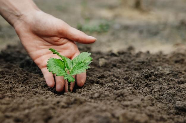 As mãos das mulheres colocam um broto no solo, close-up