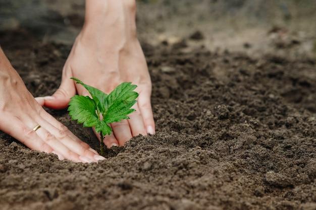 As mãos das mulheres colocam um broto no solo