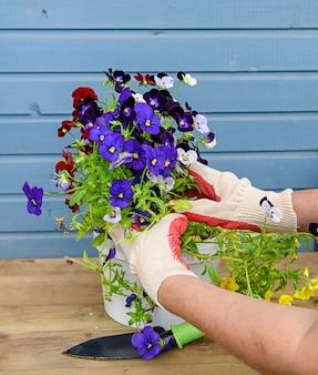 As mãos das mulheres em luvas de jardinagem vão plantar amores-perfeitos coloridos. conceito de primavera.