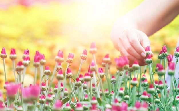 As mãos das mulheres estão colhendo flores