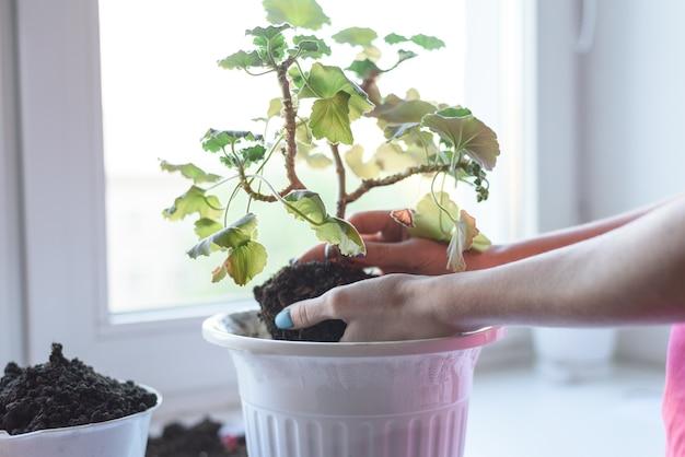 As mãos das mulheres segurando flor gerânio com raiz e solo, transplantando para uma nova panela, fertilizante, cuidados com as plantas em casa