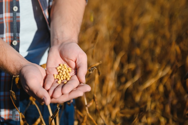As mãos de um fazendeiro branco mostrando alguns grãos de soja amarelos e vagens marrons. grãos secos, cultivo de soja pronta para ser colhida no sul do brasil.