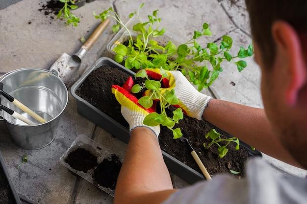 As mãos de um fazendeiro estão plantando uma muda de broto de petúnia em um vaso de flores na rua. foto de alta qualidade
