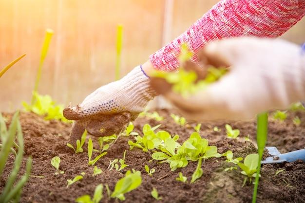 As mãos de um jardineiro em luvas domésticas planta mudas de plantas jovens brotos no solo em uma estufa. tempo de primavera