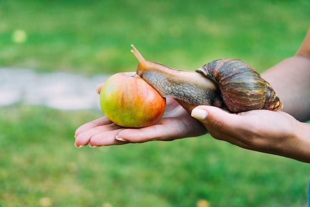 As mãos de uma mulher estão prendem um caracol grande no jardim. caracol rasteja para a maçã vermelha